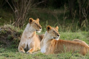lioness-sisters-serengeti-park