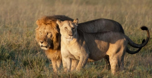 Lions in African Bush Male and Female
