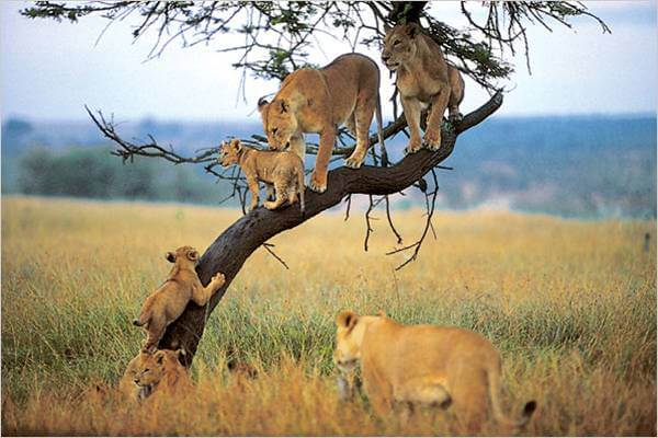lions_on_tree-manyara