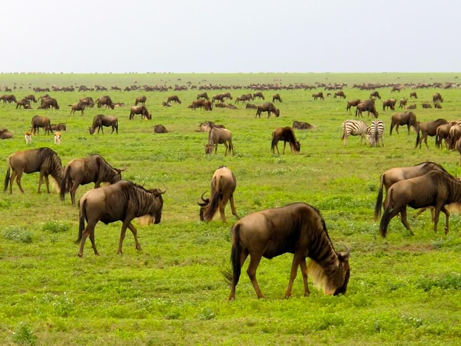 serengeti plain wildebeest migration