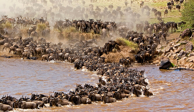 serengeti great migration wildebeest crossing the river