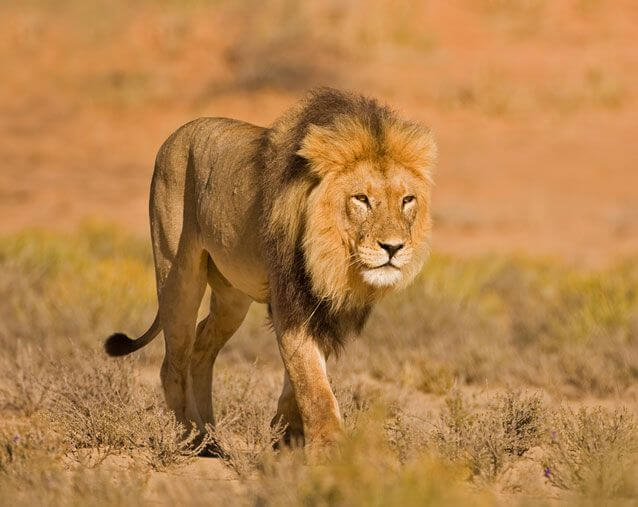 The-African-Lion